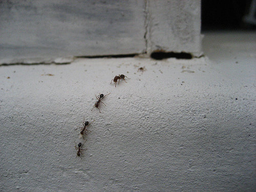 trail-of-ants