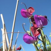 Buy sweetpea matucana seeds. Delicious seeds for your food growing needs. Seeds handpicked for NZ vegetable gardens