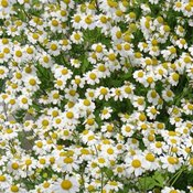 Buy german chamomile seeds. Delicious seeds for your food growing needs. Seeds handpicked for NZ vegetable gardens